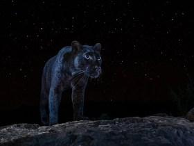 Il fotografo cattura la rarissima pantera nera sotto le stelle