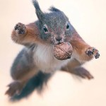 Foto di scoiattoli che saltano con le noci