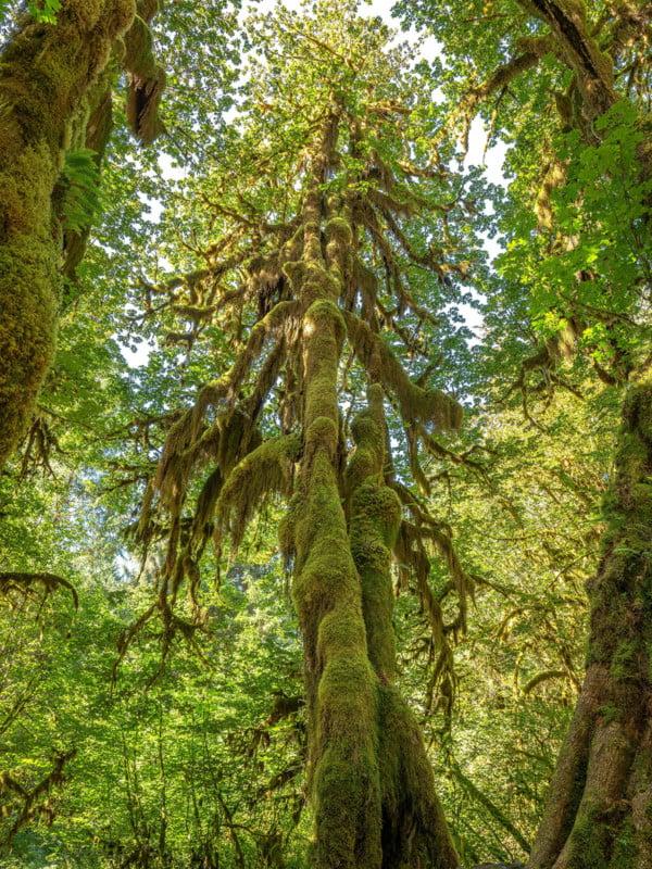 OLYM RebeccaLatson 3561 2 A Tall Mossy Tree