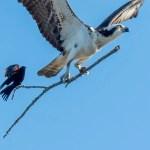 """Il fotografo scatta un uccello che cattura """"un giro"""" sul più grande uccello sul bastone"""