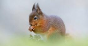 Fotografare scoiattoli rossi da un nascondiglio in una foresta irlandese