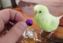 dişi muhabbet kuşu