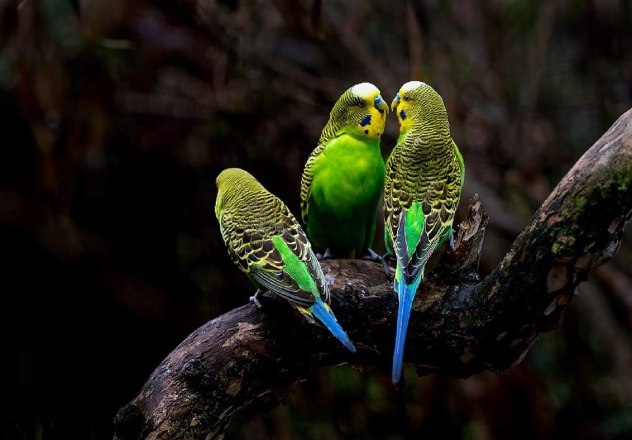 muhabbet kuşu kızğınlaştırma