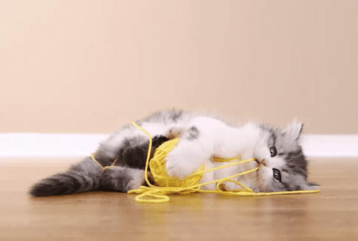 Kedilerde İp Yutma