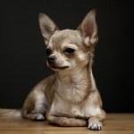 chihuahua cachorro