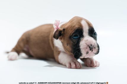 filhote de boxer femea