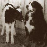 bernese montaing dog