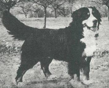 bernese cachorro e sua historia