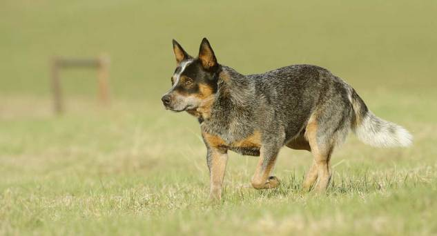 blue-heeler-cachorro