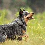 boiadeiro cachorro fazenda