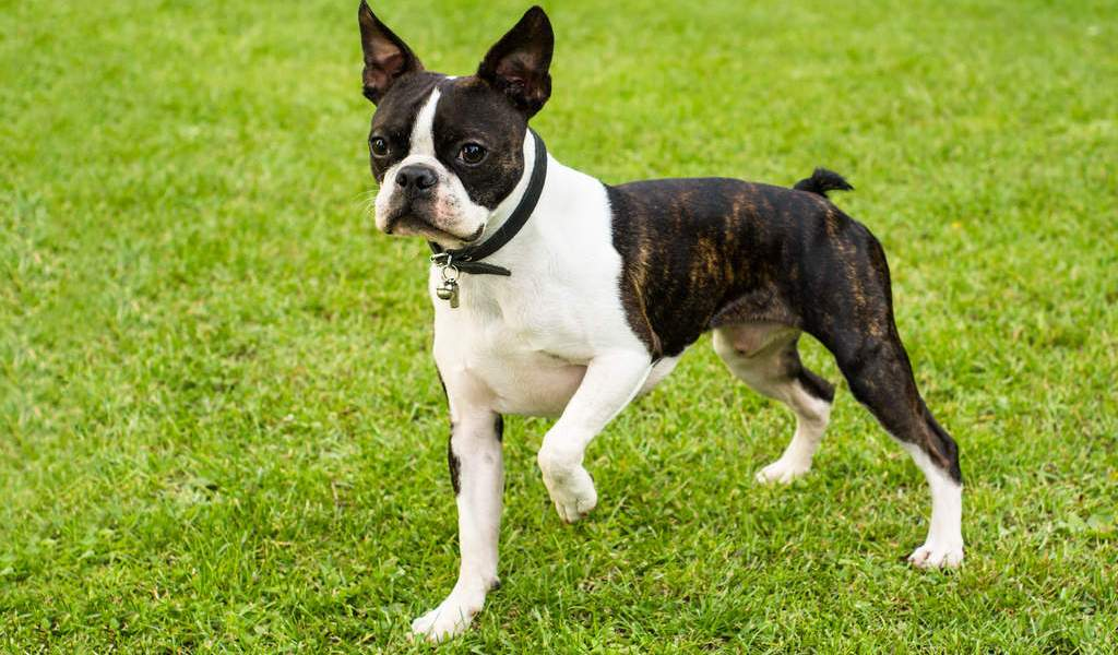 o boston terrier