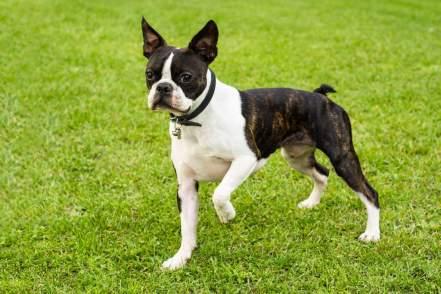 o boston terrier