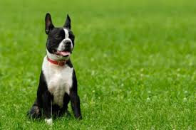 Boston terrier animais