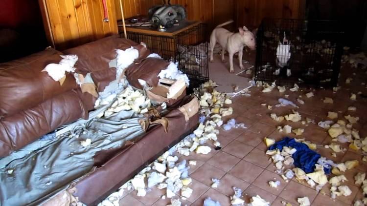 bull terrier destroi sofa