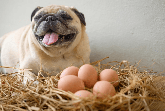cachorro pode comer ovo?