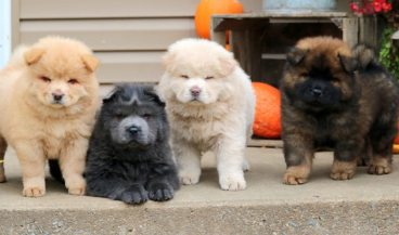 chow chow cores filhotes
