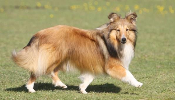 cachorros peludos