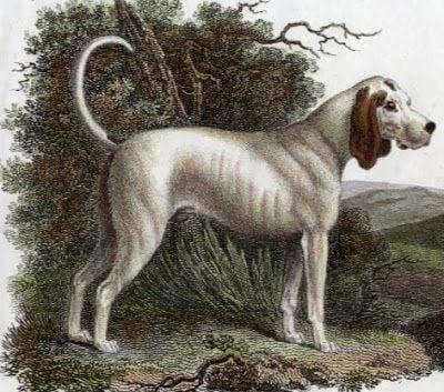 ancestral do Beagle - Talbot Hound