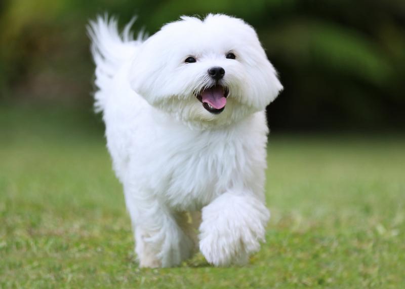 maltes branco mini correndo
