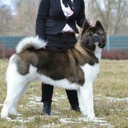 Akita Inu e Akita Americano | Tudo sobre o Cachorro