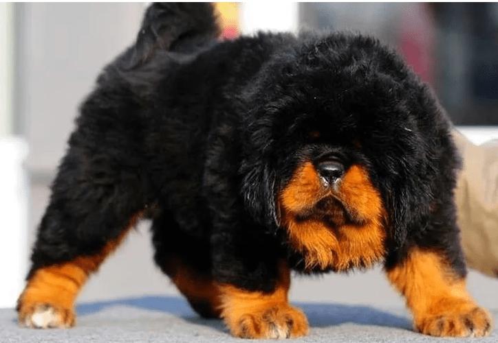 cachorro mais caro do mundo