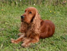 cocker spaniel cachorro