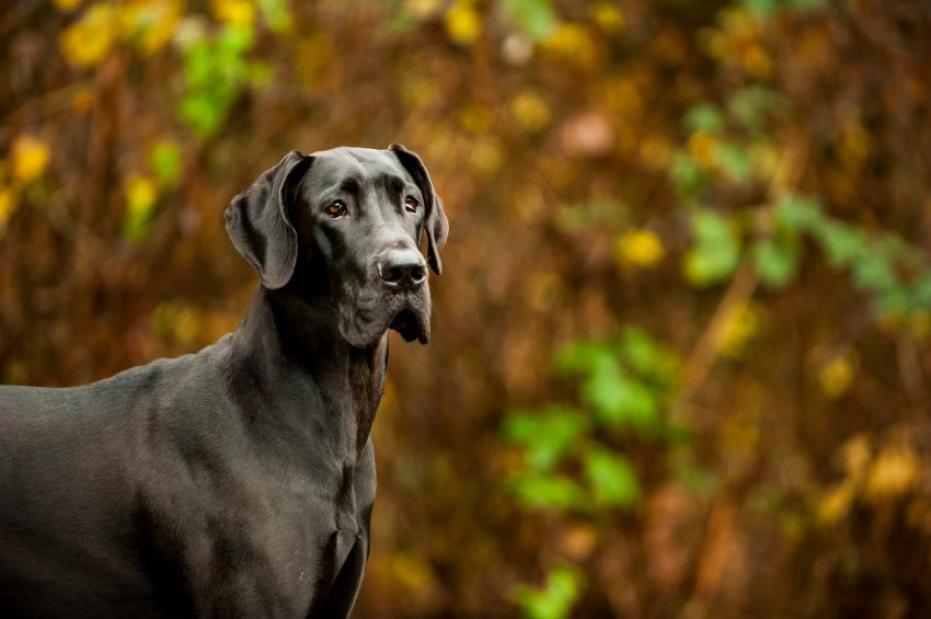 Cachorro grande, Dog Alemao