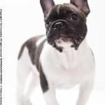 bulldog frances canil
