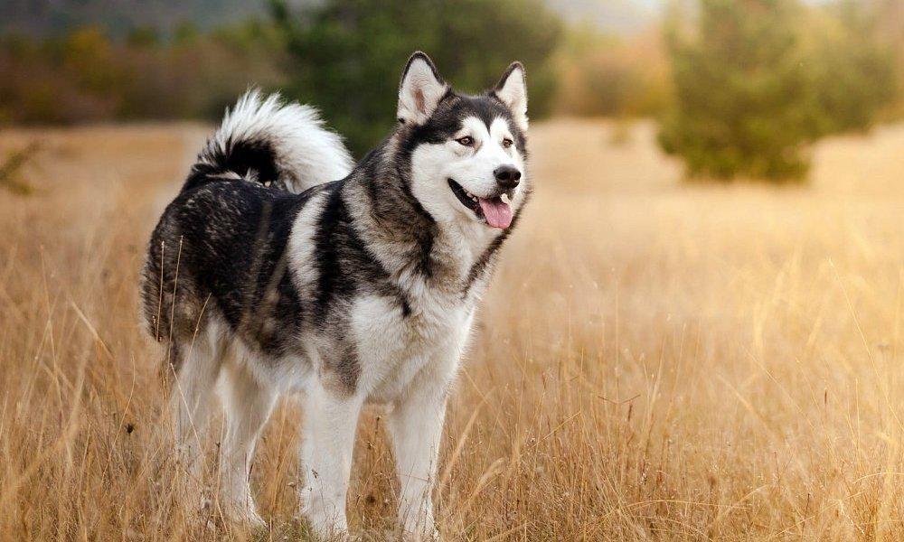 cachorro que se parece com lobo