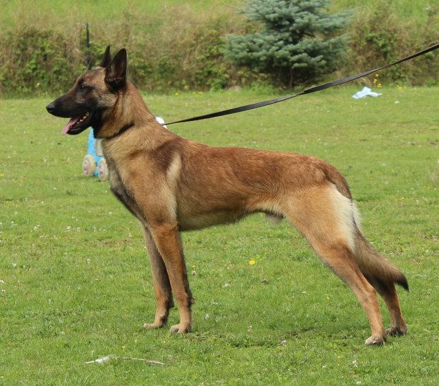 displasia canina