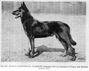 pastor belga cachorro canil