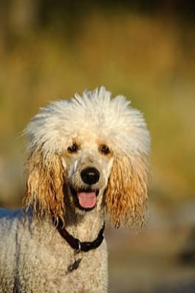 poodle-cachorro-sp