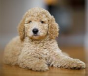 Cachorro Poodle