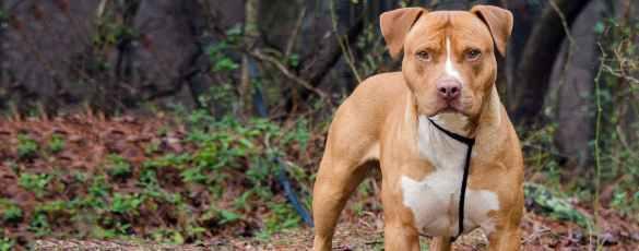 Staffordshire Bull Terrier venda