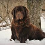 cachorro terra nova marrom