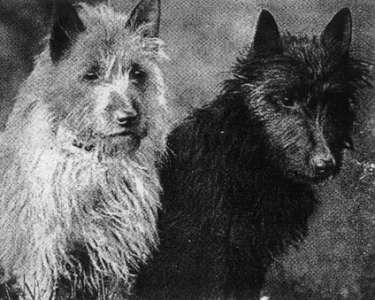 west-white-terrier-historia