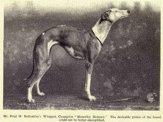 cachorro whippet whistoria