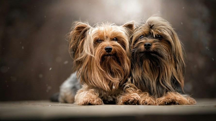 cachorros york min