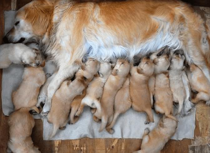 cachorra gravida