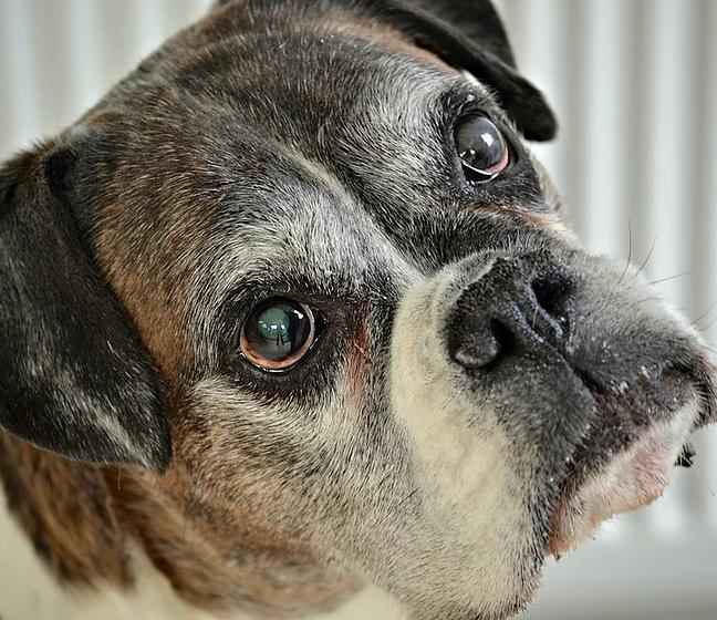 cachorro boxer velho