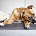 sarna negra em cachorro