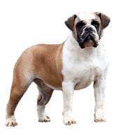 bulldog-campeiro
