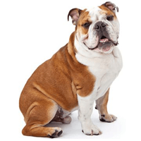bulldog-ingles