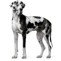 dog-alemao