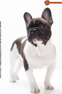 bulldog frances venda