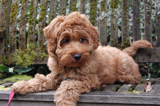cachorro mais bonito