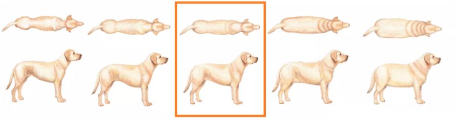 cachorro gordo