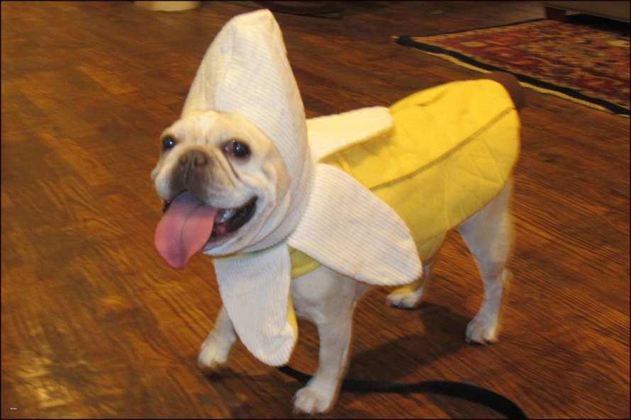 english bulldog halloween costumes Cute French Bulldogs In Costumes