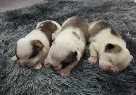 bulldog filhotes
