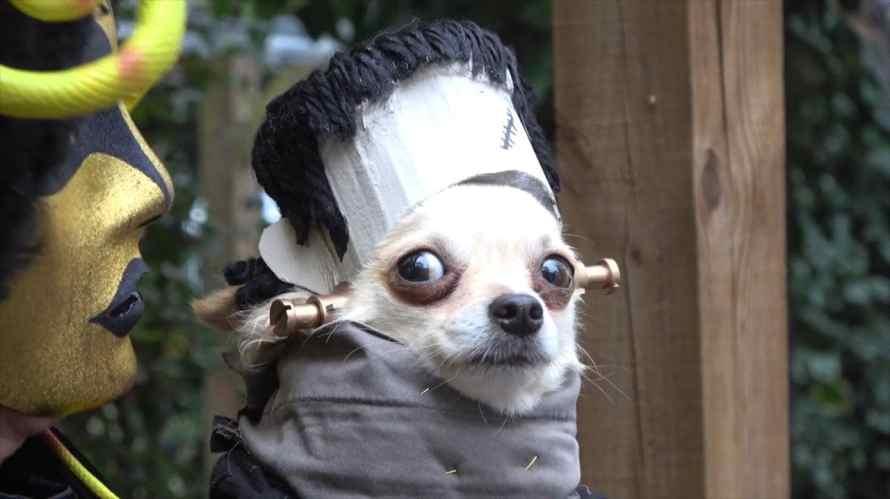 cachorro halloween